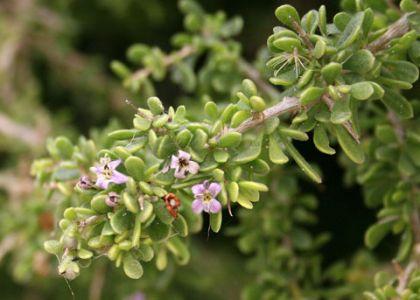 Ca Box Thorn Lycium Californicum