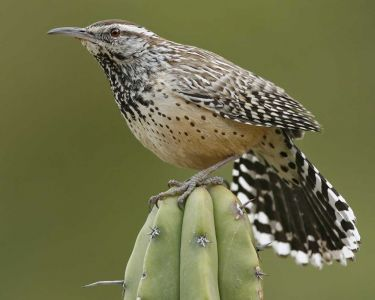 Cactus Wren - California Species Of Special Concern