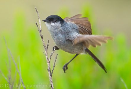 California Gnatcatcher - Federal Endangered Species