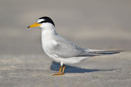 California Least Tern - Federal Endangered Species