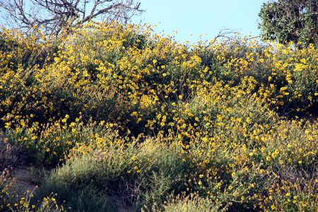 Encelia on Southern Bluffs