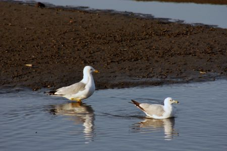 Gulls In Semeniuk Slough