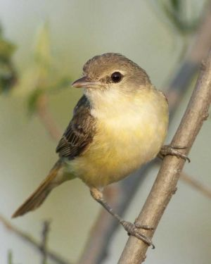 Least Bell's Vireo - Federal Endangered Species
