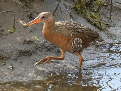 Light Footed Clapper Rail - Federal Endangered Species