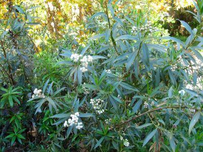 Mulefat Baccharis Salicifolia Bush