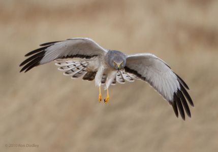 Northern Harrier - CA Species Of Special Concern
