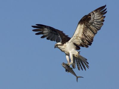 Osprey - State Watch List