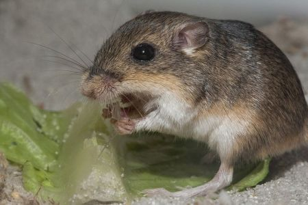 Pacific Pocket Mouse - Federal Endangered Species