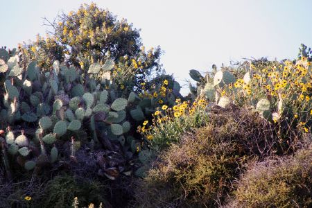 Prickley Pear And Encelia South Bluffs