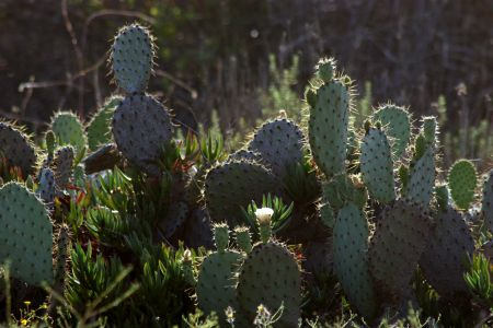Prickly Pear Patch