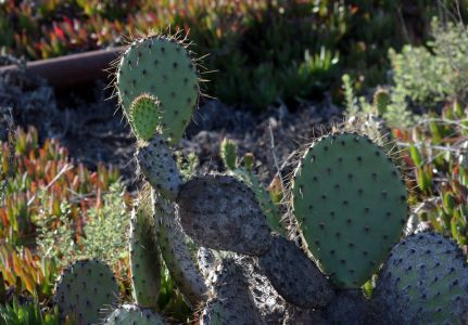 Prickly Pear On Banning Ranch