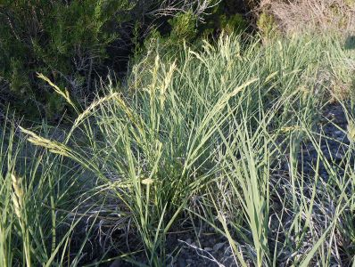 Saltgrass Distichlis spicata