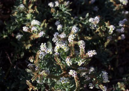 Seaside Heliotrope On Banning Ranch