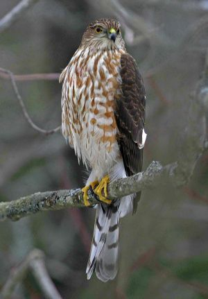 Sharp-Shinned Hawk - California Watch List