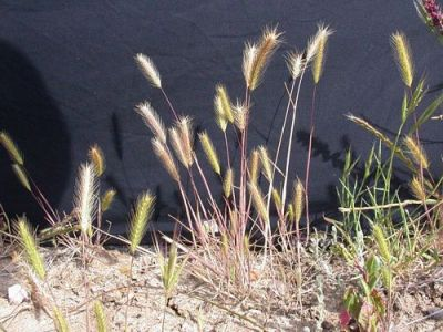 Vernal Barley Hordeum Intercedens
