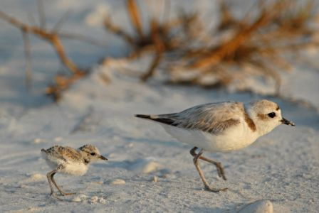 Western Snowy Plover - Federally Threatened