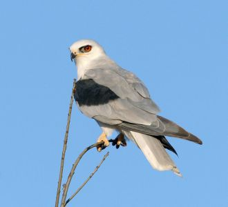 White Tailed Kite - California Fully Protected List