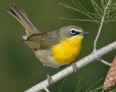 Yellow-Breasted Chat - - California Species Of Special Concern