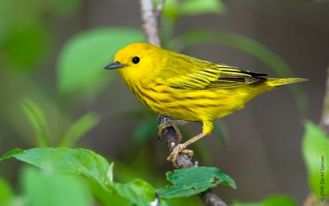 Yellow Warbler - California Species Of Special Concern