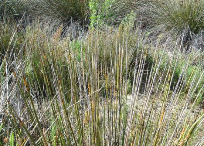 Southwestern Spiny Rush Juncus Acutus Leopoldi
