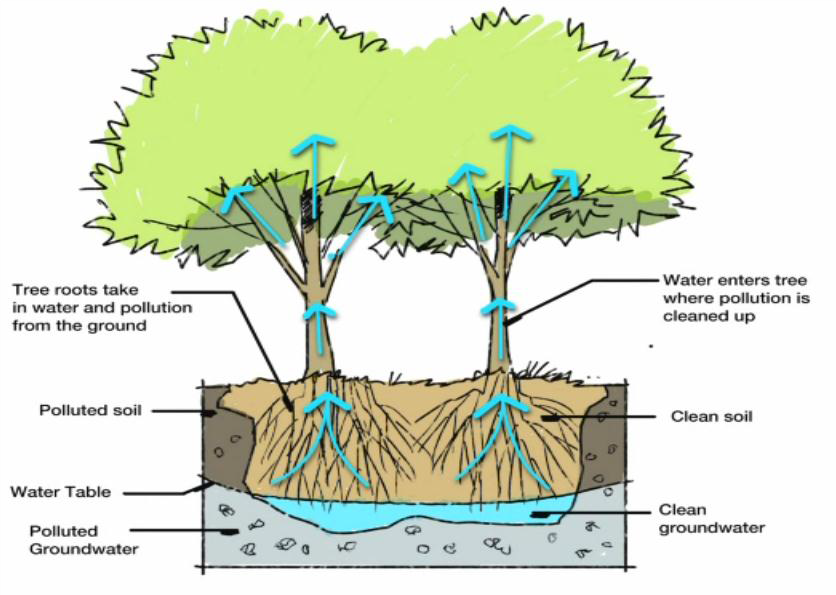 PHYTOREMEDIATION: Plants not only clean up contaminants, they also slow groundwater hydraulics and reduce the spread of pollutants. University of Iowa Study, May 2013