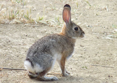 Audubon Cottontail