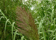 Giant-Reed