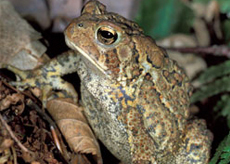 Lowland Western Toad