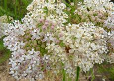Narrow Leaved Milkweed