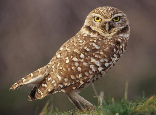 Burrowing owls have disappeared from much of their historic range. With year-round breeding populations gone, Banning Ranch is one of the only places in Orange County where owls migrate for the winter.