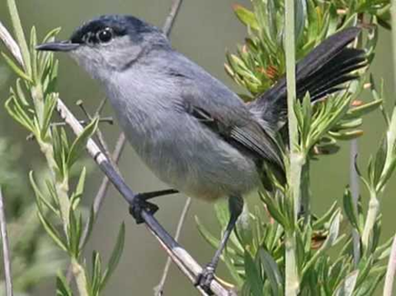 The entire Banning Ranch is federally-declared critical habitat for the California Gnatcatcher.