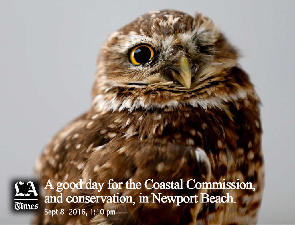 Burrowing-Owl-at-Hearing-LATimes