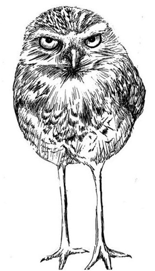 Burrowing Owl line drawing