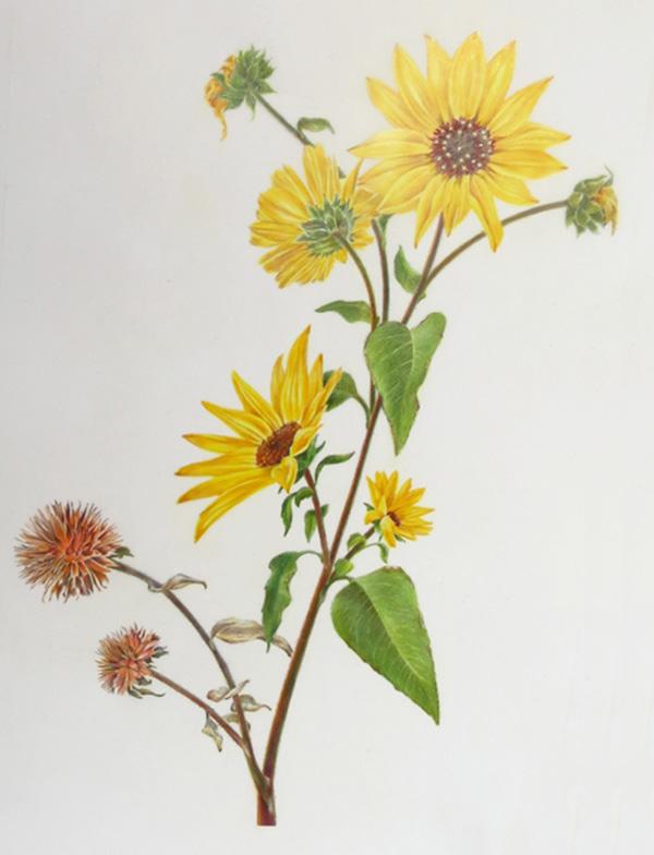 Encelia californica - California bush sunflower 2ins